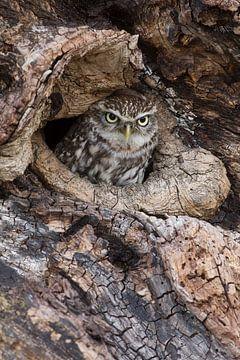 Kleine Eule, die aus der Baumhöhle aufschaut. von Jeroen Stel