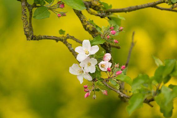 Een tak appelbloesem