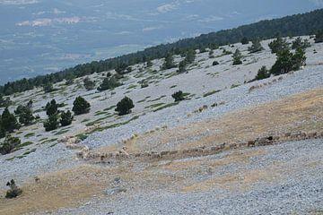 Schapenkudde op de Mont Ventoux van Myrte Wilms