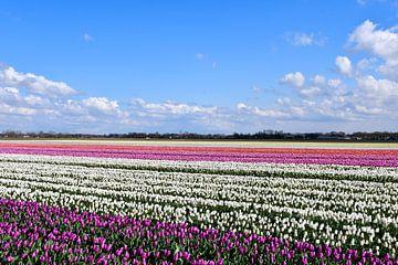 Tulpenfeld in Zeeuws-Vlaanderen von bart hartman