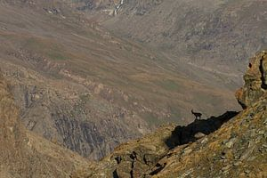 Een steenbok staat op het randje van de afgrond bij de gornergrat in zwitserland van