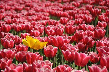 Tulpenveld von Barbara Brolsma