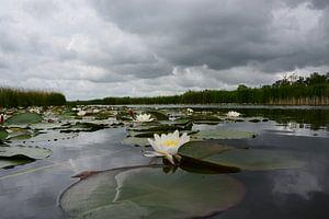 Waterlelies van