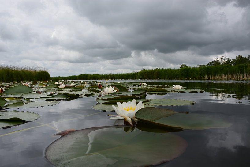 Waterlelies van Maurice Kruk