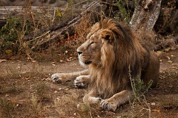 Impressionnant de mensonge et de repos. Un puissant lion mâle à la belle crinière se trouve sur un f sur Michael Semenov