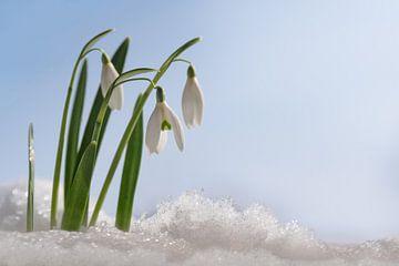 Sneeuwklokjes (Galanthus nivalis) eerste bloemen als de lente uit de sneeuw komt groeien tegen een b van Maren Winter
