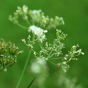 Cow parsley van Mariska de Groot
