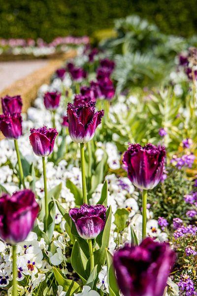 paarse tulpen van Franziska Pfeiffer