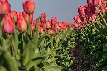 Tulpen veld van Stephan Scheffer
