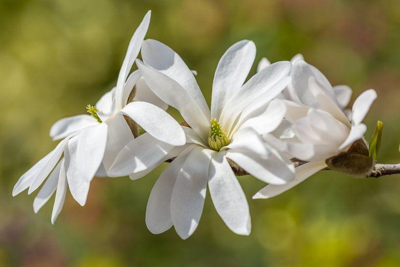 Stermagnolia und Bokeh von John van de Gazelle
