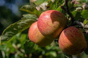Trois pommes rouges dans un pommier sur Paul Veen