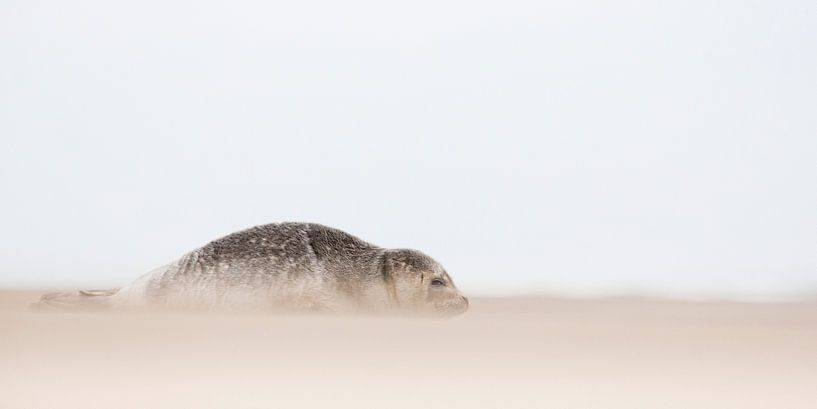 zeehond van Arjan van Duijvenboden