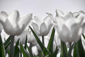Weiße Tulpen im Gegenlicht von Ad Jekel