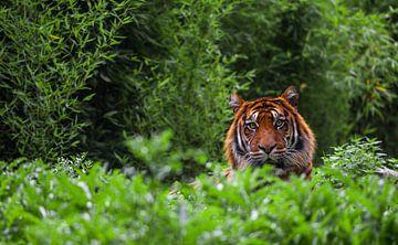 Portret van een tijger van Angelo de Bruin