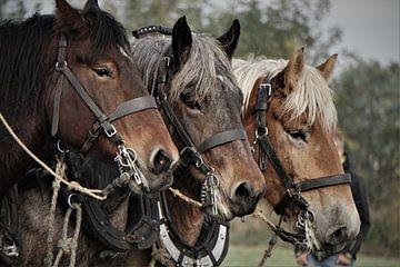Zeeländische Arbeitspferde von Leon Saanen