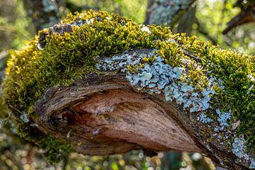 Branche avec mousse verte et lichen bleu sur Gerwin Schadl