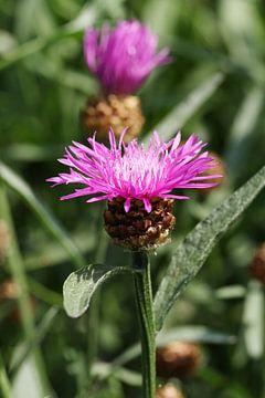 fleur écailleuse des prés sur Anja Bagunk