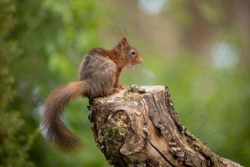 Eichhörnchen auf Stamm. von Tanja van Beuningen
