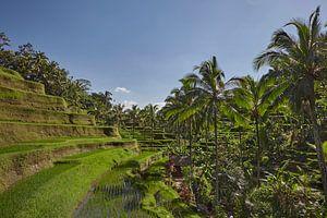 Landschap van jonge bewaterde rijstvelden met wat kokospalm en een kleine hut op het eiland Bali van Tjeerd Kruse