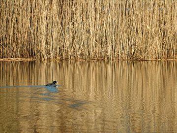 Blässhühner auf dem Wasser mit Wicker-Hintergrund von Joke te Grotenhuis