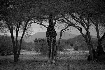 Giraffe in Schwarz-Weiß von Orry van der Gronden