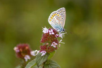 Schmetterling, Geißklee-Bläuling auf der Heide, Naturfoto von Heino Minnema