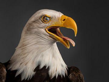 Amerikanischer Weißkopfseeadler von Fronika Westenbroek