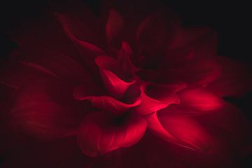Red flower in the dark van Sandra H6 Fotografie