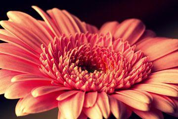 Gerbra, bloem, Vintage kleur  van Wilma Meurs