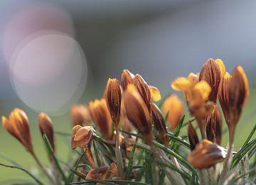 crocus orange sur Tania Perneel