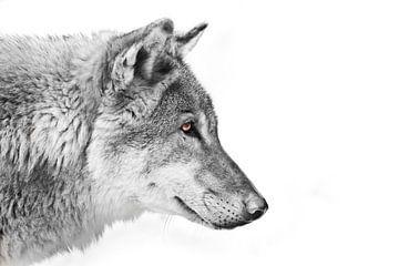Zwart-wit met gekleurde ogen, een blik op de verte Split een wolf van mannetje in profiel op een wit van Michael Semenov