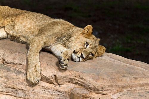 Jonge leeuw van