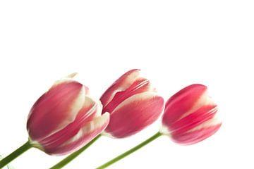 tulpen van sarp demirel