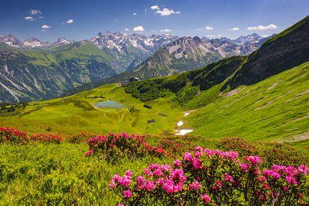 Blooming mountain rose