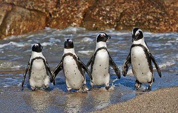 vier lustige Pinguine in Kapstadt von Jürgen Ritterbach