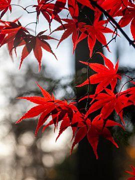 Japanse Esdoorn bladeren van Martijn Wit