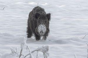 Wildzwijn na een sneeuwbui in Ede (Holland)