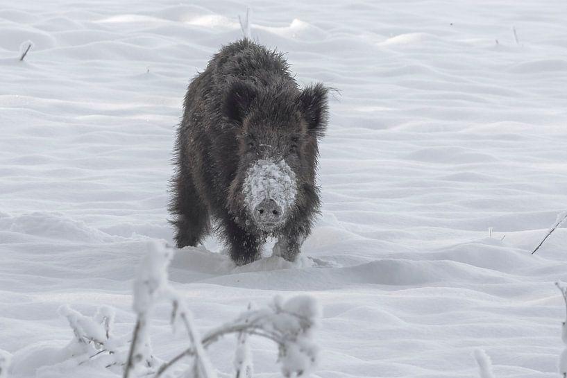 Wildzwijn na een sneeuwbui in Ede (Holland) van Eric Wander