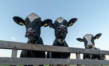 Koeien achter hek van Agnes Schuiterd