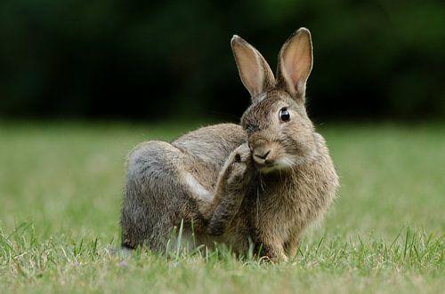 Jong konijn van