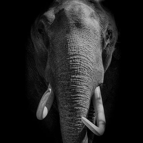Olifant met slagtanden kijkt direct in de camera op een zwarte achtergrond bekijken