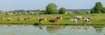 Roodbonte koeien langs de Lek van Hanneke Luit