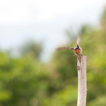 Vliegenvanger op Sulawesi van
