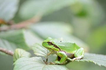 Groene boomkikker van iPics Photography