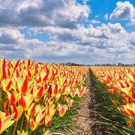 een Lente landschap met geel-rode tulpen in een panoramabeeld van eric van der eijk