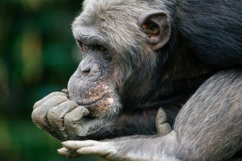 Chimpansee denkt na.  van