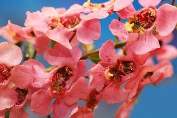Rosa Angelonia Blüten  von Jolanta Mayerberg