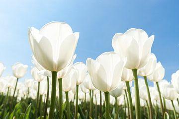 Bunte weiße Tulpen in der Frühlingssonne von Fotografiecor .nl