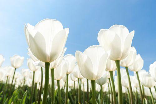 Fleurige witte tulpen in voorjaarszon