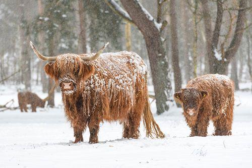 Portret van een Schotse hooglander koe met kalf in de sneeuw